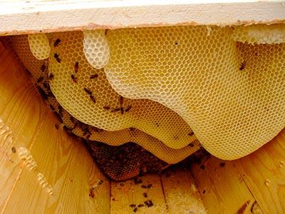 Så här ser det ut inne i våra bikupor.