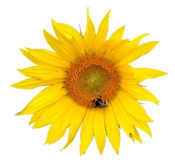 Bild på en solros från våra odlingar.