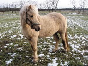 Islandshästen Hekla hade dålig aptit. Efter Horsmannbehandlingarna förbättrades aptiten avsevärt.